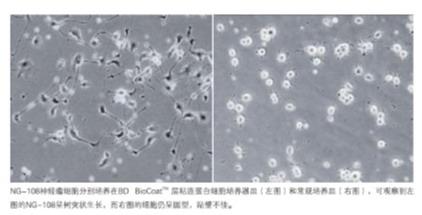 美国BD BioCoat Matrigel进口多种胶原及蛋白
